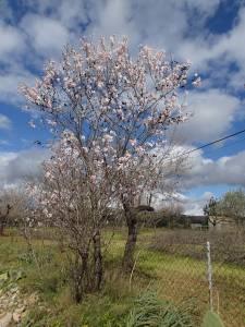 Reste der Mandelblüte