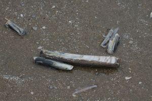 Strand- Schwertmuscheln